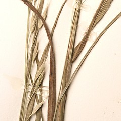 Leaves: Bromus japonicus. ~ By New England Botanical Club. ~ Copyright © 2019 New England Botanical Club. ~ No permission needed for non-commercial uses, with proper credit