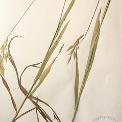 Plant form: Bromus kalmii. ~ By New England Botanical Club. ~ Copyright © 2019 New England Botanical Club. ~ No permission needed for non-commercial uses, with proper credit