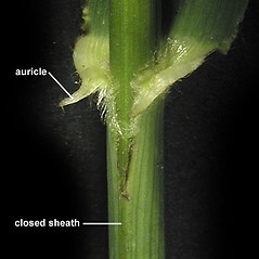 Stems and sheaths: Bromus latiglumis. ~ By Anna Gardner. ~ Copyright © 2019. ~ dlewis[at]ias.edu ~ Ada Hayden Herbarium - Iowa State U.