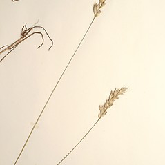 Inflorescences: Bromus lepidus. ~ By New England Botanical Club. ~ Copyright © 2020 New England Botanical Club. ~ No permission needed for non-commercial uses, with proper credit