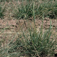 Plant form: Bromus marginatus. ~ By Howard Schwartz. ~ Copyright © 2019 CC BY-NC 3.0. ~  ~ Bugwood - www.bugwood.org/