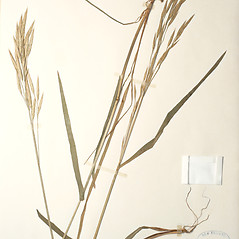 Plant form: Bromus marginatus. ~ By New England Botanical Club. ~ Copyright © 2019 New England Botanical Club. ~ No permission needed for non-commercial uses, with proper credit
