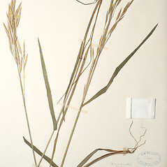Leaves: Bromus marginatus. ~ By New England Botanical Club. ~ Copyright © 2019 New England Botanical Club. ~ No permission needed for non-commercial uses, with proper credit