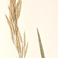 Spikelets: Bromus marginatus. ~ By New England Botanical Club. ~ Copyright © 2019 New England Botanical Club. ~ No permission needed for non-commercial uses, with proper credit
