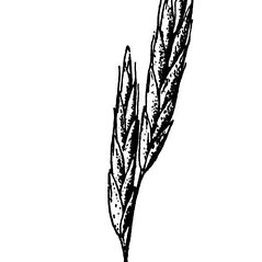 Spikelets: Bromus marginatus. ~ By USDA-NRCS PLANTS Database. ~  Public Domain. ~ None needed ~ USDA-NRCS Plants Database - plants.usda.gov/java/