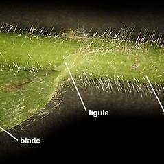 Stems and sheaths: Bromus pubescens. ~ By Anna Gardner. ~ Copyright © 2018. ~ dlewis[at]ias.edu ~ Ada Hayden Herbarium - Iowa State U.
