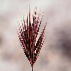 Inflorescences: Bromus rubens. ~ By John Randall. ~ Copyright © 2018 CC BY-NC 3.0. ~  ~ Bugwood - www.bugwood.org/