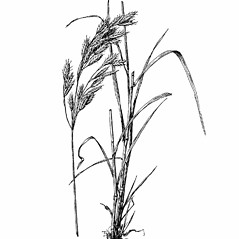 Plant form: Bromus secalinus. ~ By Agnes Chase. ~  Public Domain. ~ None needed ~ A.S. Hitchcock. 1950. Manual of Grasses of the United States (2nd edition rev. Agnes Chase), USDA Misc. Pub. 200