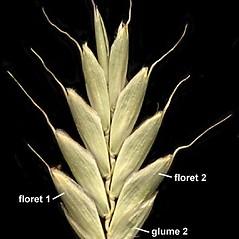 Spikelets: Bromus secalinus. ~ By Anna Gardner. ~ Copyright © 2019. ~ dlewis[at]ias.edu ~ Ada Hayden Herbarium - Iowa State U.