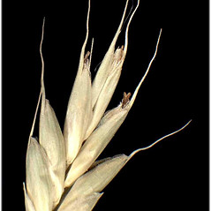 Spikelets: Bromus secalinus. ~ By Andrea Moro. ~ Copyright © 2020 CC BY-NC-SA 3.0. ~  ~ www.luirig.altervista.org
