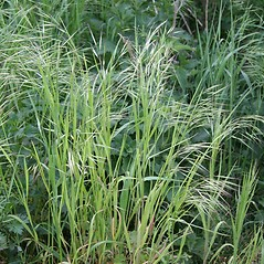 Plant form: Bromus sterilis. ~ By Robert Vid_ki. ~ Copyright © 2019 CC BY-NC 3.0. ~  ~ Bugwood - www.bugwood.org/