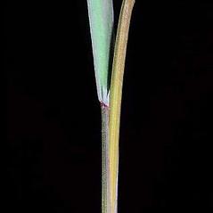 Ligules: Bromus sterilis. ~ By Joseph DiTomaso. ~ Copyright © 2019 CC BY-NC 3.0. ~  ~ Bugwood - www.bugwood.org/