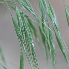 Spikelets: Bromus tectorum. ~ By Arieh Tal. ~ Copyright © 2019 Arieh Tal. ~ http://botphoto.com/ ~ Arieh Tal - botphoto.com