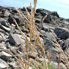 Inflorescences: Calamagrostis canadensis. ~ By Glen Mittelhauser. ~ Copyright © 2018 Glen Mittelhauser. ~ www.mainenaturalhistory.org