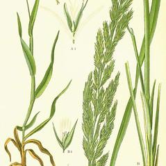 Leaves: Calamagrostis epigejos. ~ By Otto Wilhelm Thome. ~  Public Domain. ~  ~ commons.wikimedia.org/wiki/Image:Illustration_Lagurus_ovatus0.jpg