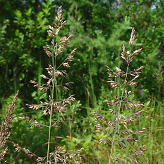 Inflorescences: Calamagrostis pickeringii. ~ By Glen Mittelhauser. ~ Copyright © 2017 Glen Mittelhauser. ~ www.mainenaturalhistory.org