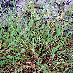 Leaves: Cenchrus spinifex. ~ By John Bradford and George Rogers. ~ Copyright © 2017 John Bradford and George Rogers. ~ George Rogers: rogersg[at]palmbeachstate.edu, 561-207-5052  ~ floridagrasses.org/index.htm