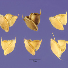 Spikelets: Chloris cucullata. ~ By Jose Hernandez. ~  Public Domain. ~  ~ USDA-NRCS Plants Database - plants.usda.gov/java/