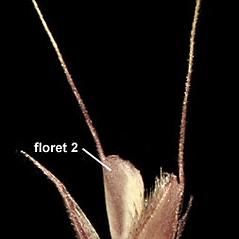 Spikelets: Chloris verticillata. ~ By Anna Gardner. ~ Copyright © 2018. ~ dlewis[at]ias.edu ~ Ada Hayden Herbarium - Iowa State U.