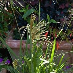 Plant form: Chloris virgata. ~ By Paul S. Drobot. ~ Copyright © 2019 Paul S. Drobot. ~ www.plantstogrow.com, www.plantstockphotos.com ~ Robert W. Freckmann Herbarium, U. of Wisconsin-Stevens Point