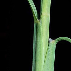 Ligules: Chloris virgata. ~ By Joseph DiTomaso. ~ Copyright © 2017 CC BY-NC 3.0. ~  ~ Bugwood - www.bugwood.org/