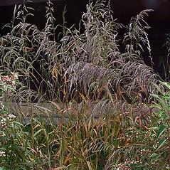 Plant form: Cinna arundinacea. ~ By Paul S. Drobot. ~ Copyright © 2019 Paul S. Drobot. ~ www.plantstogrow.com, www.plantstockphotos.com ~ Robert W. Freckmann Herbarium, U. of Wisconsin-Stevens Point