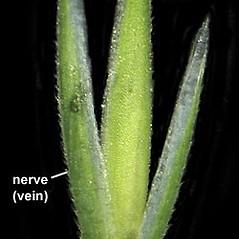 Spikelets: Cinna arundinacea. ~ By Anna Gardner. ~ Copyright © 2019. ~ dlewis[at]ias.edu ~ Ada Hayden Herbarium - Iowa State U.