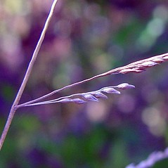 Spikelets: Coleataenia longifolia. ~ By Arthur Haines. ~ Copyright © 2019. ~ arthurhaines[at]wildblue.net