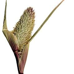 Inflorescences: Crypsis schoenoides. ~ By Anna Gardner. ~ Copyright © 2020. ~ dlewis[at]ias.edu ~ Ada Hayden Herbarium - Iowa State U.