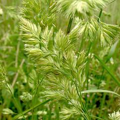 Spikelets: Dactylis glomerata. ~ By Glen Mittelhauser. ~ Copyright © 2018 Glen Mittelhauser. ~ www.mainenaturalhistory.org