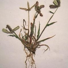 Plant form: Dactyloctenium aegyptium. ~ By Forest & Kim Starr. ~ Copyright © 2019 CC BY-NC 3.0. ~  ~ Bugwood - www.bugwood.org/