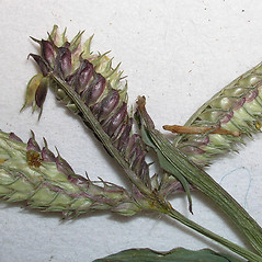 Spikelets: Dactyloctenium aegyptium. ~ By Kim Starr. ~ Copyright © 2019 CC BY 3.0. ~ starrimages[at]hear.org ~ Plants of Hawaii - www.hear.org/starr/images/?o=plants