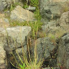 Plant form: Danthonia spicata. ~ By Glen Mittelhauser. ~ Copyright © 2018 Glen Mittelhauser. ~ www.mainenaturalhistory.org