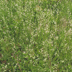 Plant form: Danthonia spicata. ~ By Marilee Lovit. ~ Copyright © 2018 Marilee Lovit. ~ lovitm[at]gmail.com