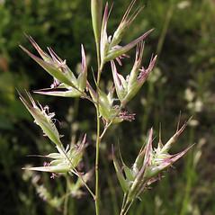 Inflorescences: Danthonia spicata. ~ By Marilee Lovit. ~ Copyright © 2018 Marilee Lovit. ~ lovitm[at]gmail.com