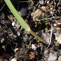 Ligules: Danthonia spicata. ~ By Jill Weber. ~ Copyright © 2018 Jill Weber. ~ jillweber03[at]gmail.com