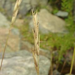 Spikelets: Danthonia spicata. ~ By Glen Mittelhauser. ~ Copyright © 2018 Glen Mittelhauser. ~ www.mainenaturalhistory.org