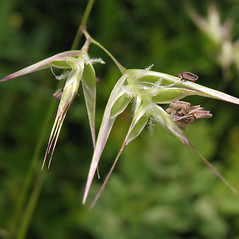 Spikelets: Danthonia spicata. ~ By Marilee Lovit. ~ Copyright © 2018 Marilee Lovit. ~ lovitm[at]gmail.com