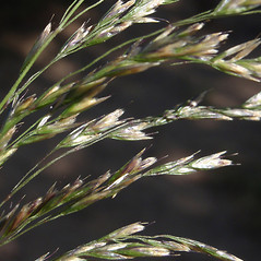 Spikelets: Deschampsia anadyrensis. ~ By Max Licher. ~ Copyright © 2019 Max Licher. ~ mlicher[at]wildapache.net ~ Southwest Environmental Information Network - swbiodiversity.org/seinet/imagelib/index.php