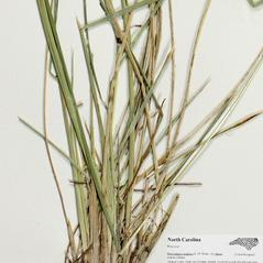 Stems and sheaths: Deschampsia anadyrensis. ~ By Derick B. Poindexter. ~ Copyright © 2017 Derick B. Poindexter. ~ dpoindex[at]live.unc.edu ~ Vascular Flora of Alleghany County, NC - vascularflora.appstate.edu/