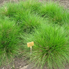 Plant form: Deschampsia cespitosa. ~ By Chip Elliot. ~  Public Domain. ~ chipwukashi[at]gmail.com ~ Wikimedia Commons, commons.wikimedia.org/wiki/File:Deschampsia_cespitosa_-_Berlin_Botanical_Garden_-_IMG_8573.JPG