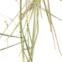 Stems and sheaths: Deschampsia cespitosa. ~ By Derick B. Poindexter. ~ Copyright © 2019 Derick B. Poindexter. ~ dpoindex[at]live.unc.edu ~ Vascular Flora of Alleghany County, NC - vascularflora.appstate.edu/