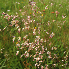 Inflorescences: Deschampsia flexuosa. ~ By Marilee Lovit. ~ Copyright © 2017 Marilee Lovit. ~ lovitm[at]gmail.com