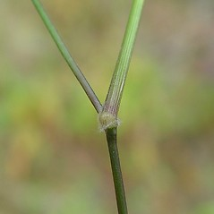 Stems and sheaths: Dichanthelium boscii. ~ By Arthur Haines. ~ Copyright © 2017. ~ arthurhaines[at]wildblue.net