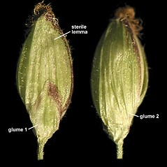 Spikelets: Dichanthelium clandestinum. ~ By Anna Gardner. ~ Copyright © 2018. ~ dlewis[at]ias.edu ~ Ada Hayden Herbarium - Iowa State U.