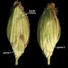 Spikelets: Dichanthelium clandestinum. ~ By Anna Gardner. ~ Copyright © 2019. ~ dlewis[at]ias.edu ~ Ada Hayden Herbarium - Iowa State U.