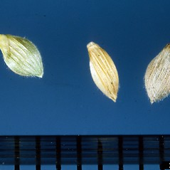 Spikelets: Dichanthelium clandestinum. ~ By Ken Chamberlain. ~ Copyright © 2018 CC BY-NC 3.0. ~  ~ Bugwood - www.bugwood.org/