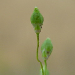 Spikelets: Dichanthelium depauperatum. ~ By Arthur Haines. ~ Copyright © 2018. ~ arthurhaines[at]wildblue.net