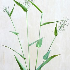 Plant form: Dichanthelium latifolium. ~ By Arieh Tal. ~ Copyright © 2020 Arieh Tal. ~ http://botphoto.com/ ~ Arieh Tal - botphoto.com