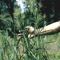 Plant form: Dichanthelium scabriusculum. ~ By Ann Murray. ~ Copyright © 2020 University of Florida/IFAS Center for Aquatic and Invasive Plants. ~ caip-education[at]ufl.edu ~ U. of Florida/IFAS Center for Aquatic and Invasive Plants. Used with permission